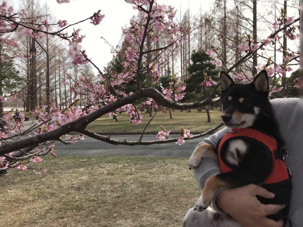 黒豆柴犬 うめ太 2歳2ヶ月 水元公園