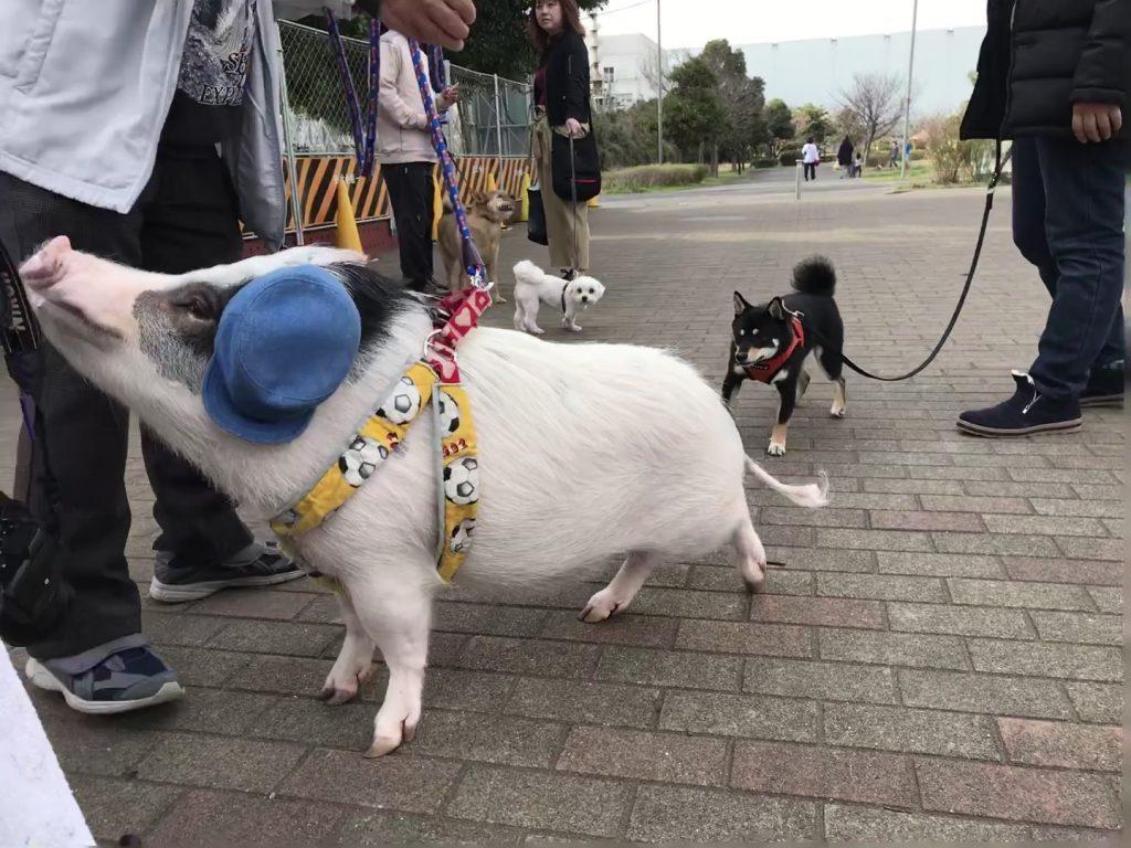 黒豆柴犬 うめ太 2歳2ヶ月 城南島海浜公園つばさドッグラン ミニブタモモ