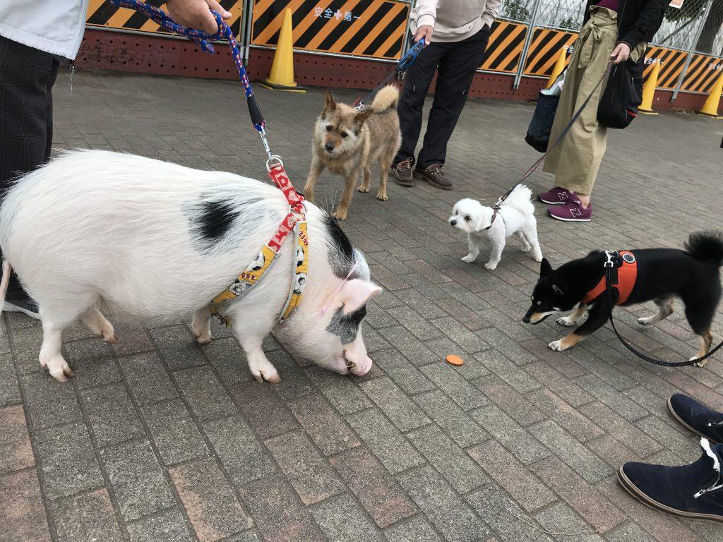 黒豆柴犬 うめ太 2歳1ヶ月 城南島海浜公園つばさドッグラン ミニブタモモ