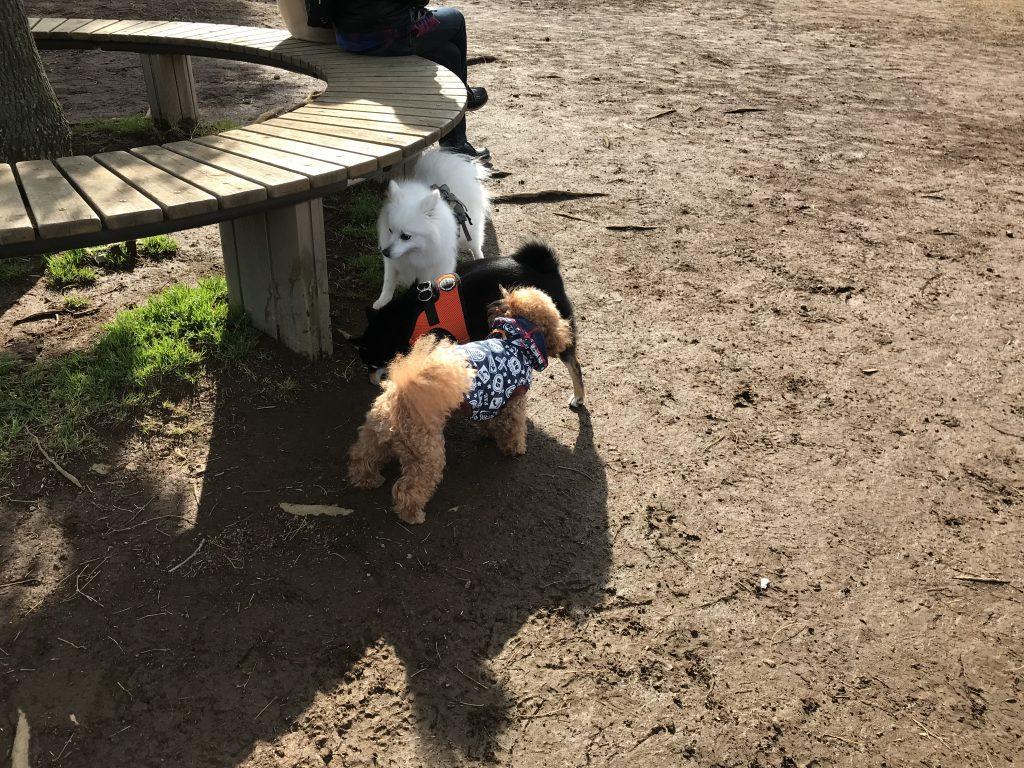 黒豆柴犬 うめ太 2歳1ヶ月 城南島海浜公園つばさドッグラン