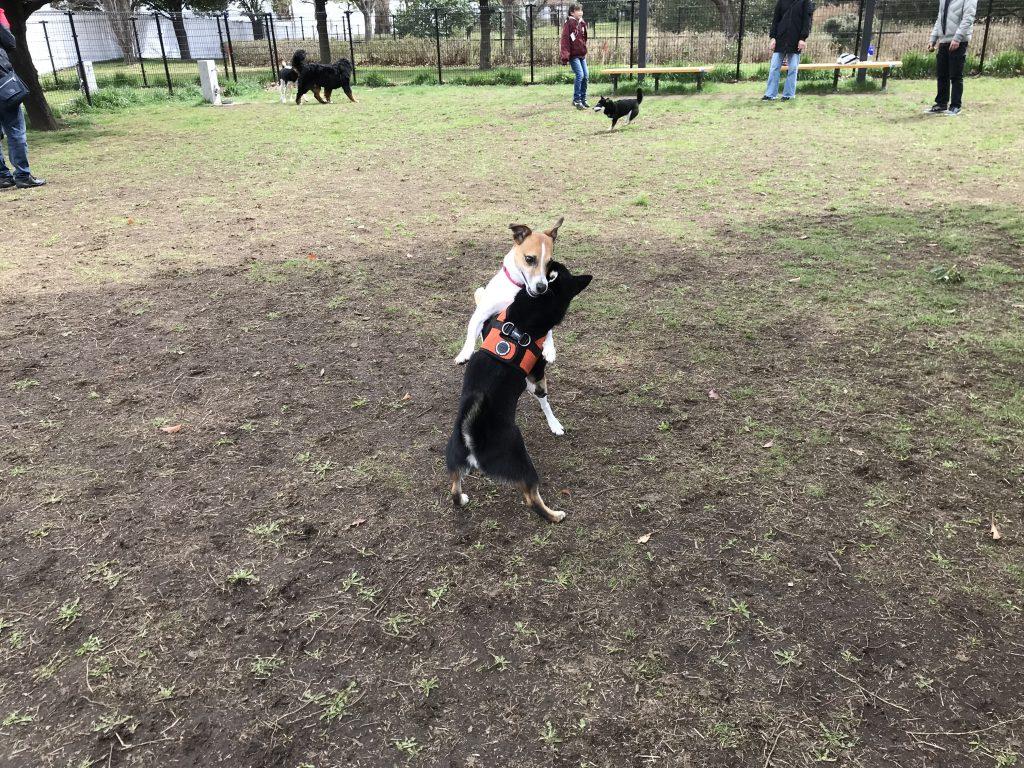 黒豆柴犬 うめ太 2歳2ヶ月 大井ふ頭中央海浜公園ドッグラン