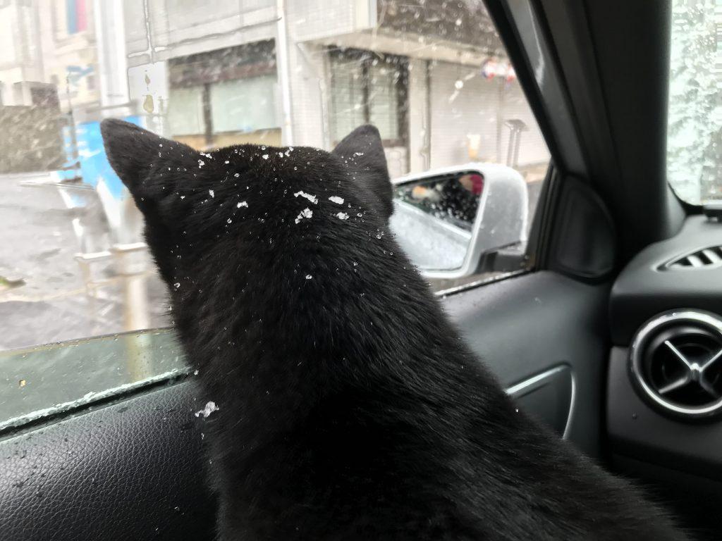 黒豆柴犬 うめ太 2歳2ヶ月 雪