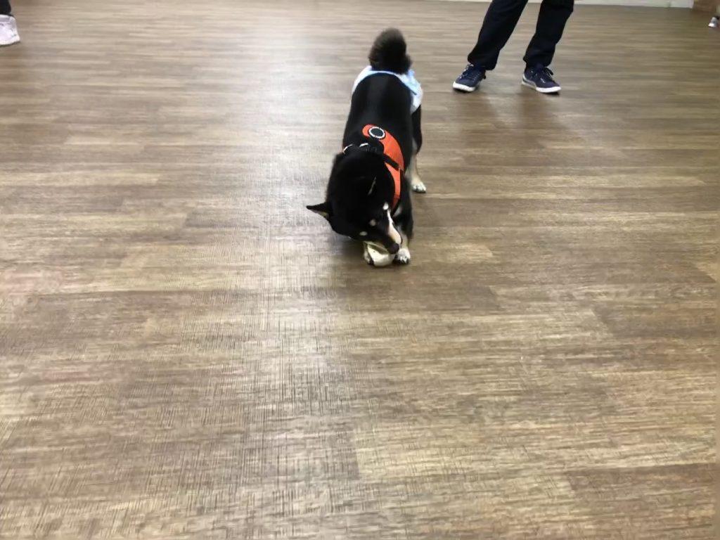 黒豆柴犬 うめ太 2歳2ヶ月 雪 室内ドッグラン