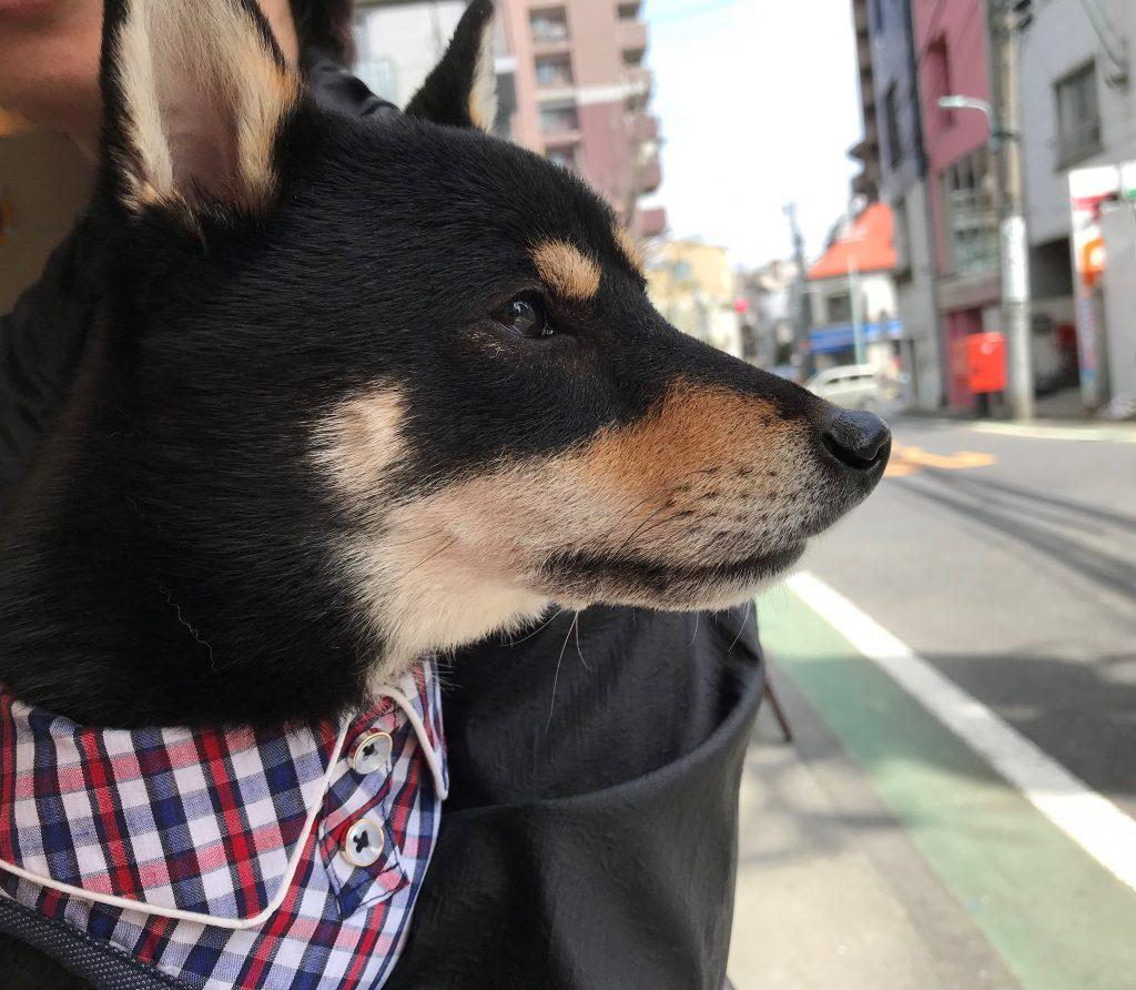 黒豆柴犬 うめ太 2歳2ヶ月 目黒川沿いの桜