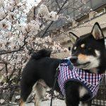3月24日(土)と25日(日)は、桜を見に行ってきました🌸