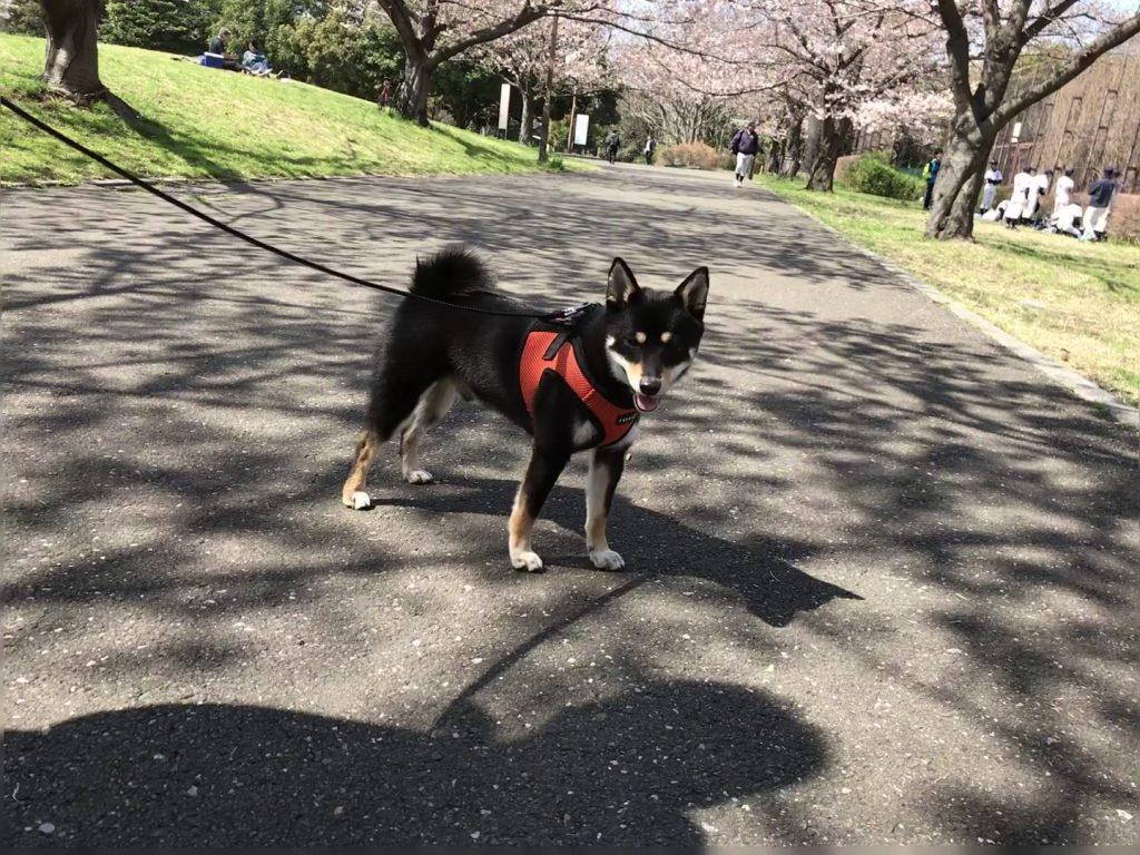 黒豆柴犬 うめ太 2歳2ヶ月 大井ふ頭中央海浜公園