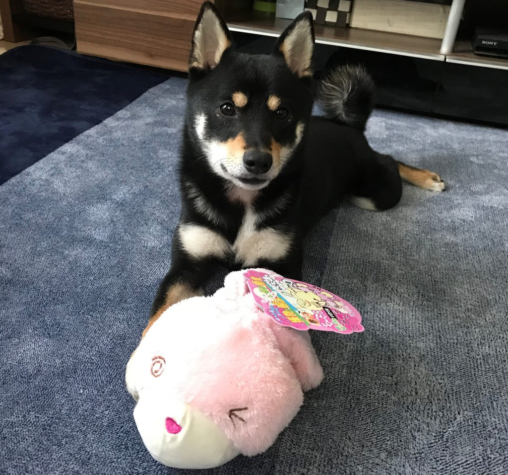 黒豆柴犬 うめ太 2歳2ヶ月 犬友達