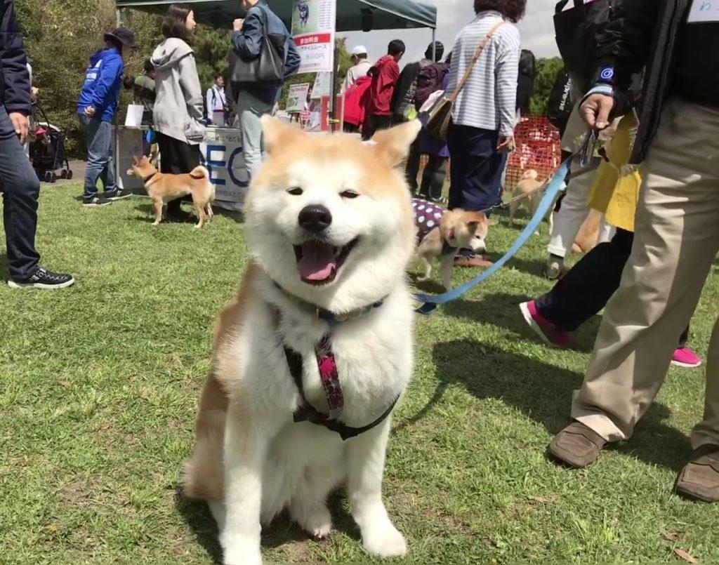 黒豆柴犬 うめ太 2歳2ヶ月 日本犬祭2018