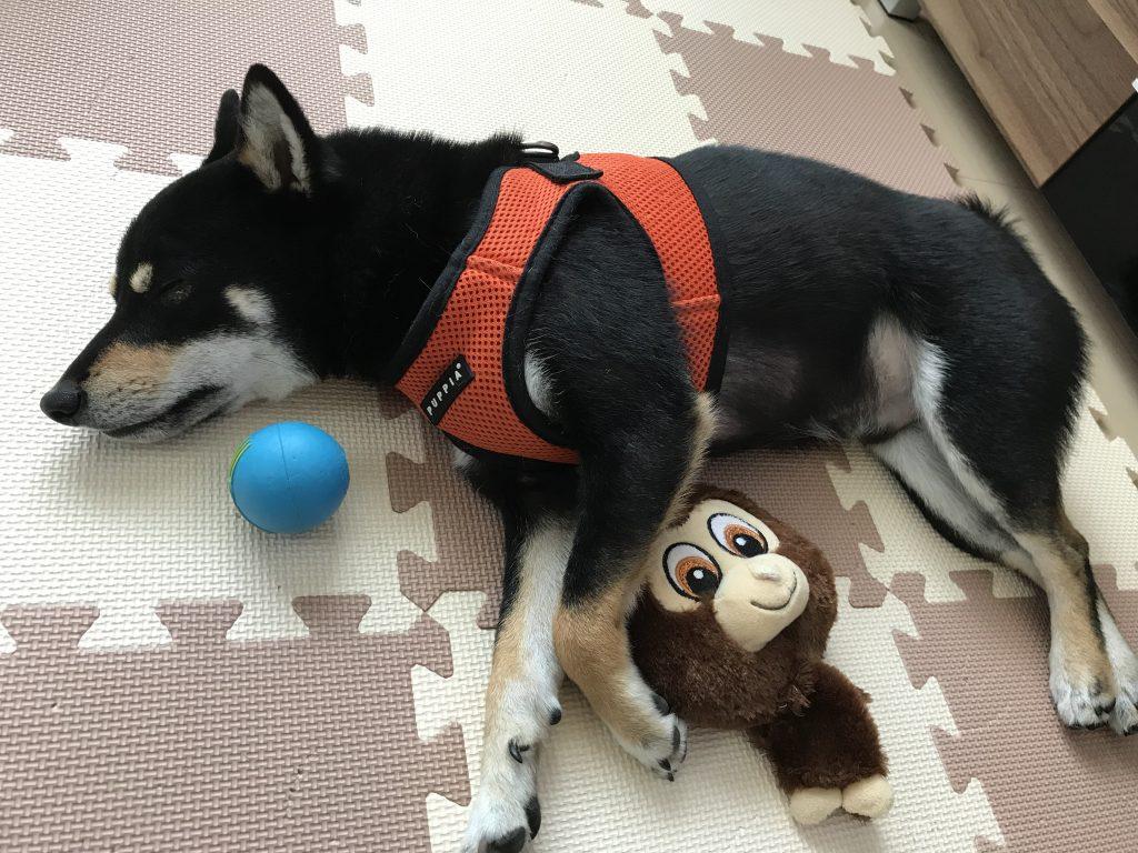 黒豆柴犬 うめ太 2歳3ヶ月 狂犬病予防注射 混合ワクチン フィラリア検査