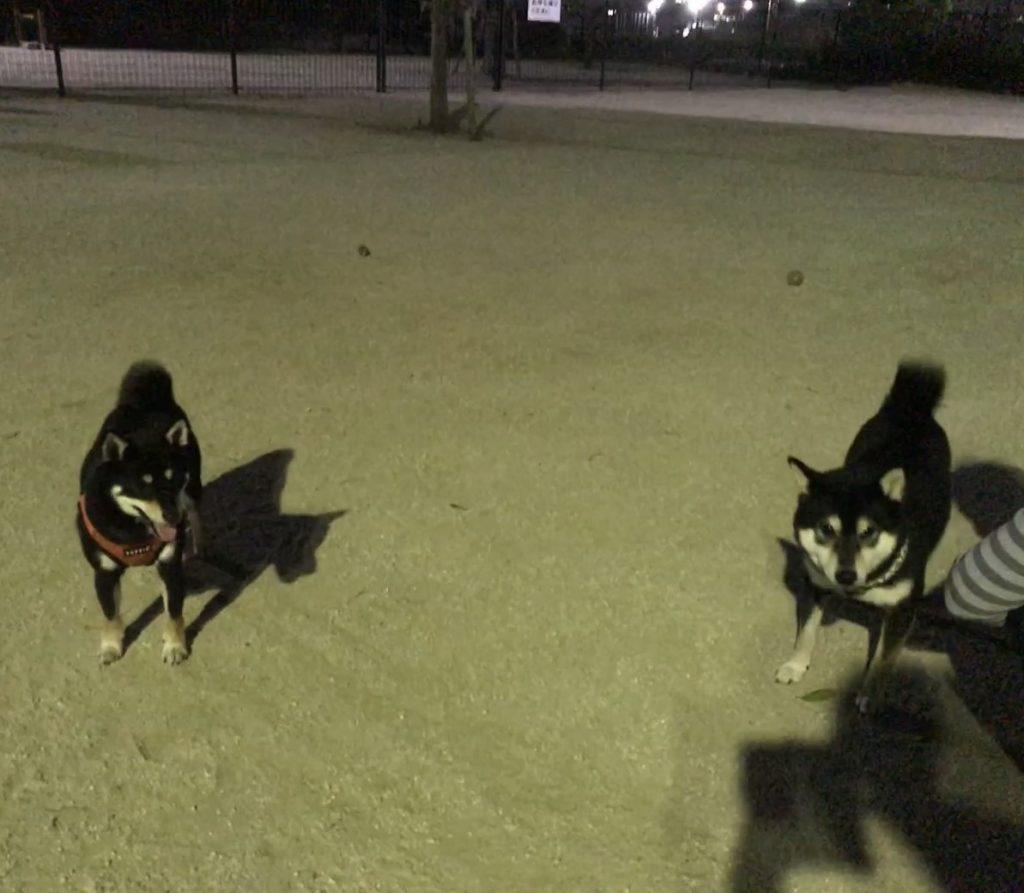 黒豆柴犬 うめ太 2歳3ヶ月 草加公園 ドッグラン
