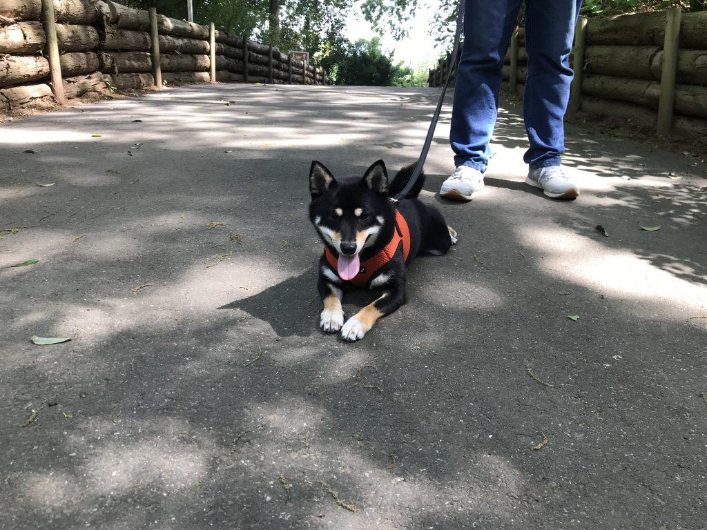 黒豆柴犬 うめ太 2歳3ヶ月 ドギーズアイランド